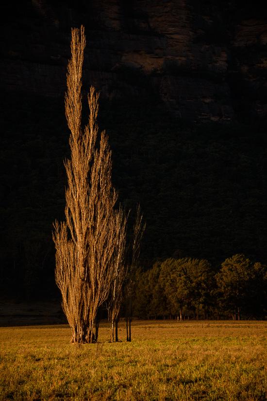 Poplar Afterlight