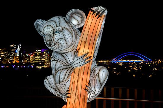 Urban Koala